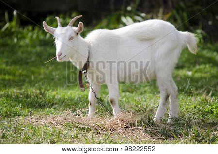 Animal Farm - Goat