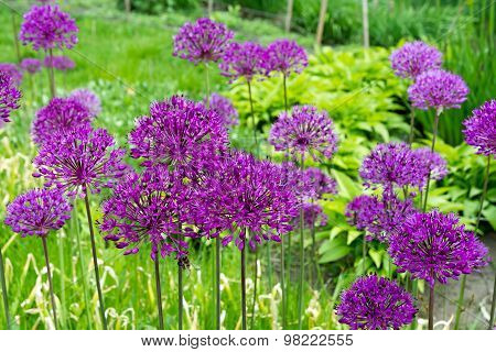 Purple Allium Flower.