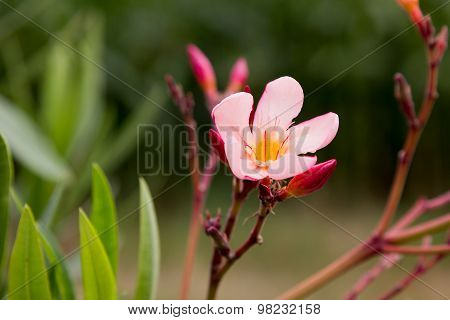 One Oleander Blossom In The Garden