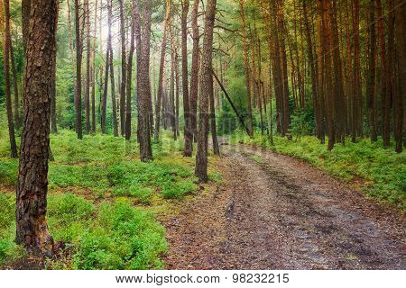 Pine Forest With Sun Rays, Blue Berry Shrubs And Forest Track