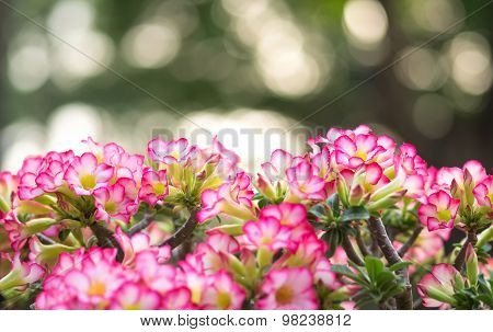 Pink Plumeria Flower With Bokeh Background