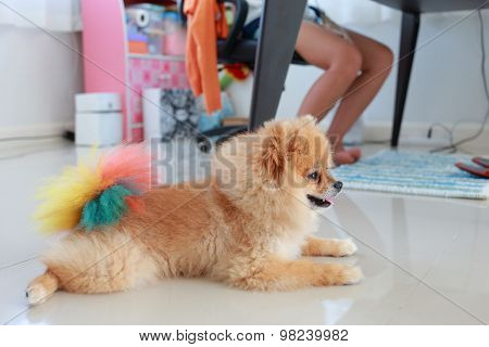 Pomeranian Dog Cute Pet In Home