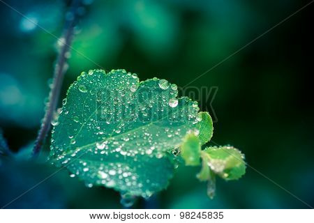 Wet Leaf With Several Raindrops