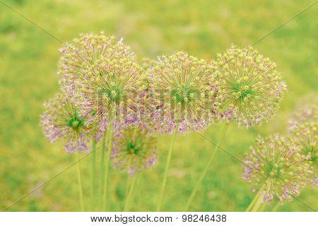 Allium Giganteum Flowers