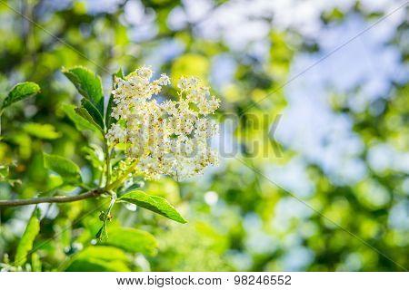 Elderberry Flower In A Garden