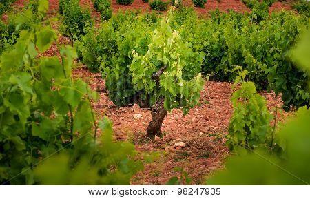 The Origin Of The Wine