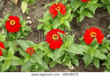 Red zinnia flowers