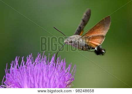 hummingbird hawk-moth hovering over a flower (Macroglossum stellatarum)