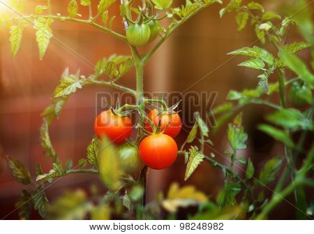Tomatoes Cherry Branch Outdoor