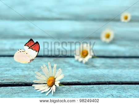Flower daisy and butterfly on the blue wooden background.