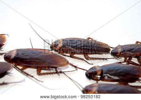 Group walk cockroach isolate on white background