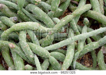 Arid plants - ASTERACEAE , Senecio pendulus (Forssk.) Sch. Bip.
