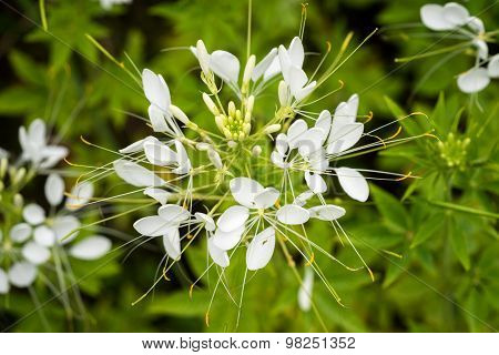 Cleome Flower (cleome Hassleriana) ,spider Flowers, Spider Plants, Spider Weed