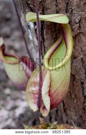 Carnivorous plants - Beautiful Close up Green N. viging