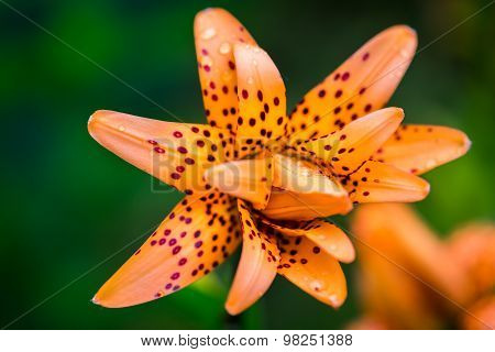 Tiger Lilies In Garden. Lilium Lancifolium (syn. L. Tigrinum) Is One Of Several Species Of Orange Li