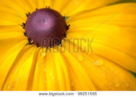 Yellow Rudbeckia Black Eyed Susan Flower