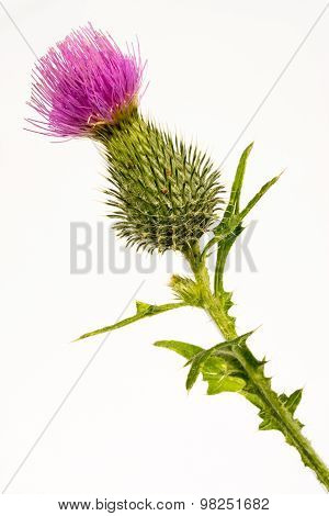 Silybum Marianum -milk Thistle Flower-head Isolated On White.