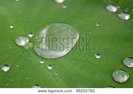 Close up Roll on water Green lotus leaf