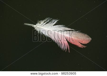 Greater flamingo (Phoenicopterus roseus) feather. Wild life animal.