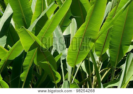 Green Banana leaf nature  park abstract background