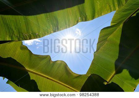 Green Banana leaf backlit sunlight and sky