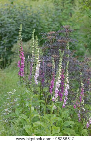 Lots Of Foxglove