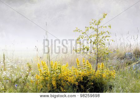 Dotted Loosestrife And Fog In The Background