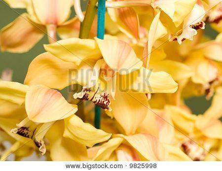 Yellow Cymbidium Or Orchid Flower