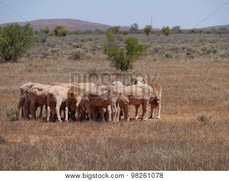 Fleeced sheep
