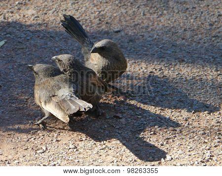 Apostlebird  or grey jumper in Australia