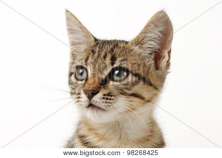 Close-up portrait of little cute tabby  kitten on a white background