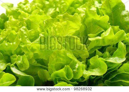 detail of fresh butterhead lettuce leaves
