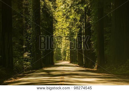 Giant Redwood Trees Road