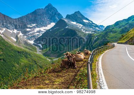 Swiss Alpine Milk Cows