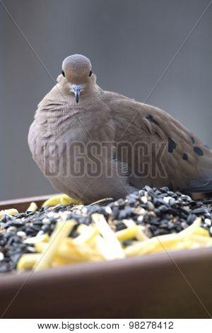 Bird On Feeder - Mourning Dove