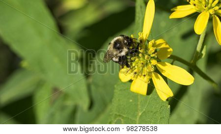 Bumble Bee on Common Wingstem Yellow Bloom.