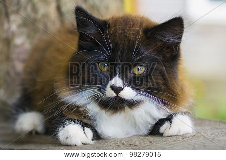Little  Kitten Portrait