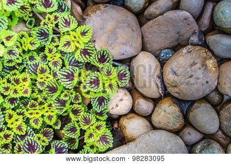 Flame Nettle (coleus) Leaves And Pebbles Background.