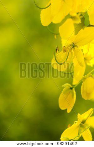 Cassia fistula.