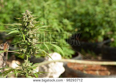 Marijuana Coltivation In Jamaica