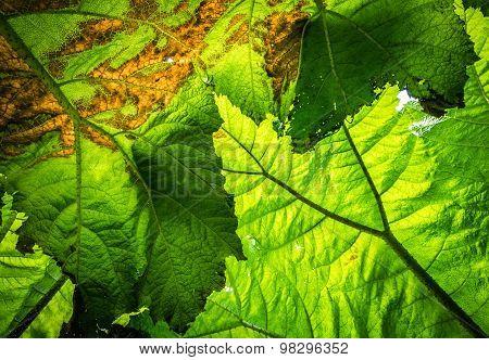 Giant leaf texture