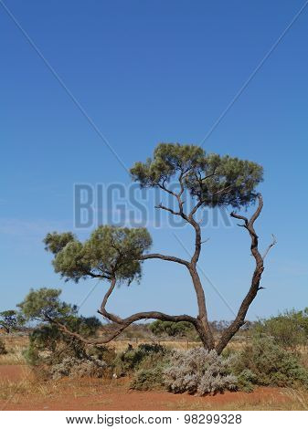 Decorative desert oak