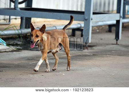 Hungry stray dog walk alone all day