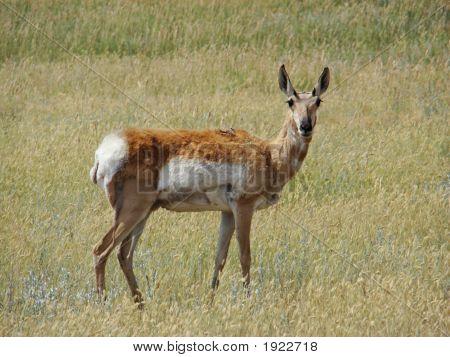 Antelope At Custer State Park