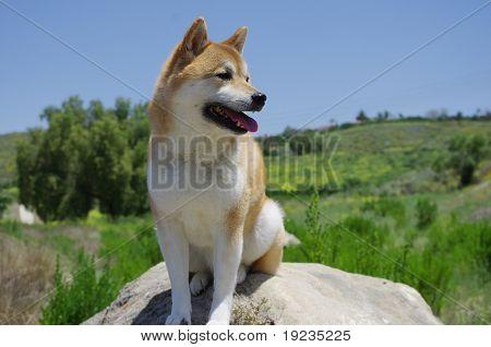 Shiba Inu perro en la naturaleza