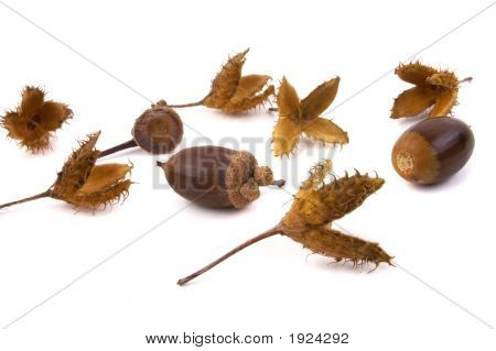 Beech And Acorn Seeds 2