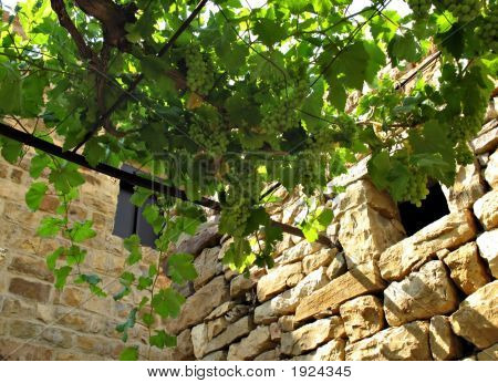 Vine And Wall