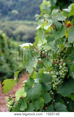 Wine Vineyard Grapes
