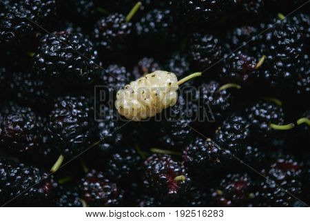 close up macro shot of mulberry summer black berry with the only one white berry among all black