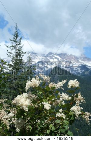 Flowering Shrub At Rainier Np